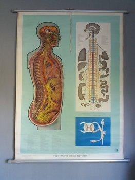 Schoolplaat zenuwstelsel